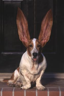 Basset Hound with Ears Sticking Up by DLILLC