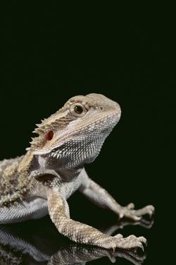 Bearded Dragon by DLILLC