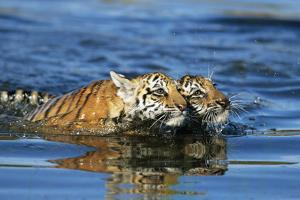 Bengal Tiger Cubs Swimming in Water by DLILLC