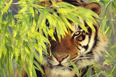 Bengal Tiger Hiding behind Leaves by DLILLC