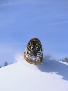 Bengal Tiger Jumping from Snowdrift by DLILLC