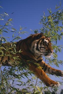 Bengal Tiger Jumping through Bushes by DLILLC