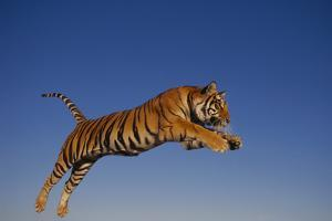 Bengal Tiger Jumping by DLILLC