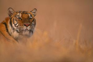 Bengal Tiger Lying in Field by DLILLC