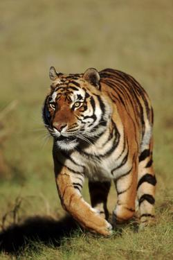 Bengal Tiger on the Prowl by DLILLC