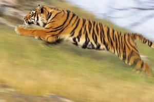 Bengal Tiger Racing Uphill by DLILLC