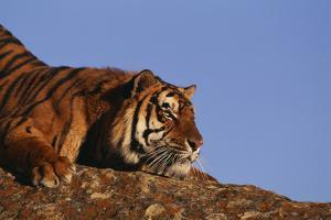 Bengal Tiger Resting on Rocks by DLILLC