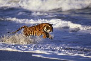 Bengal Tiger Running along the Beach by DLILLC