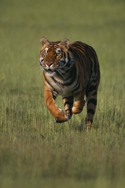 Bengal Tiger Running in Field by DLILLC