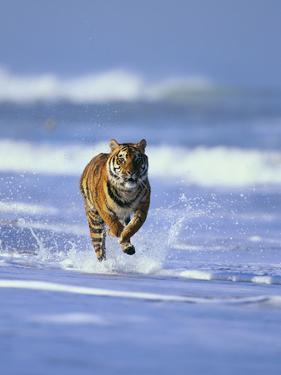 Bengal Tiger Running in Surf by DLILLC
