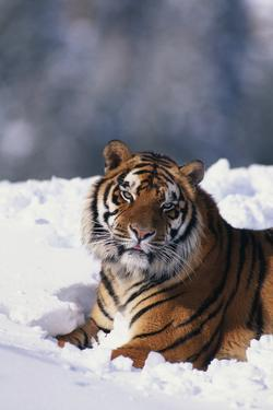 Bengal Tiger Sitting in Snow by DLILLC