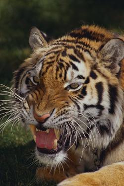 Bengal Tiger Snarling by DLILLC
