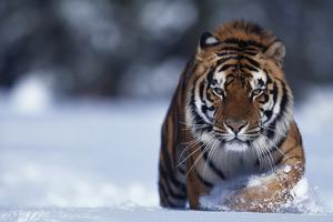 Bengal Tiger Walking in Snow by DLILLC