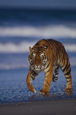 Bengal Tiger Walking on Beach by DLILLC