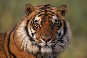 Bengal Tiger by DLILLC