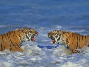 Bengal Tigers Snarling in Surf by DLILLC