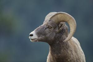 Bighorn Sheep by DLILLC