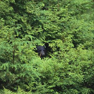 Black Bear Hiding in Forest by DLILLC