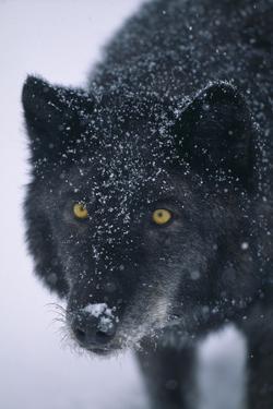 Black Gray Wolf in Snow by DLILLC