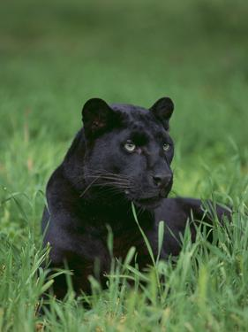 Black Panther Sitting in Grass by DLILLC