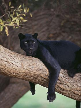 Black Panther Sitting on Tree Branch by DLILLC