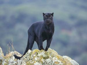 Black Panther by DLILLC