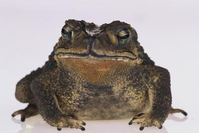 Black-Spined Toad by DLILLC