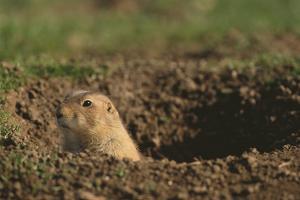 Black-Tailed Prairie Dog Peeking out of Den by DLILLC