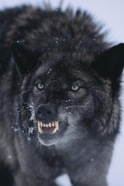 Black Wolf Snarling in Snow by DLILLC