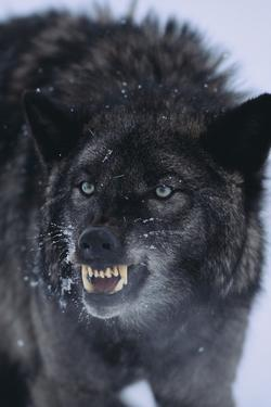 Black Wolf Snarling in Snow by DLILLC