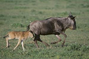 Blue Wildebeest with Her Calf by DLILLC