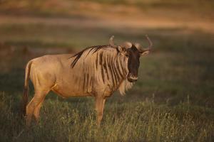 Blue Wildebeest by DLILLC