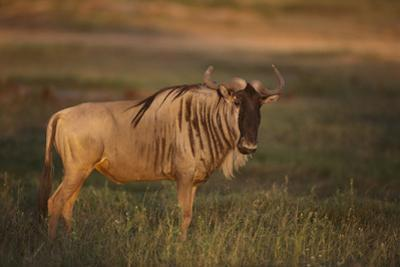 Blue Wildebeest by DLILLC