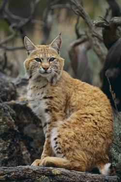 Bobcat on Rocks by DLILLC
