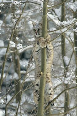 Bobcat Perched in Tree by DLILLC