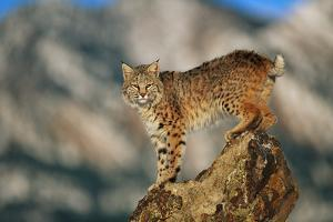 Bobcat Perched on Rock by DLILLC