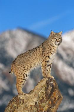 Bobcat Standing on Boulder by DLILLC