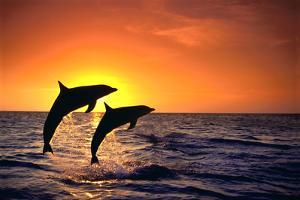 Bottlenosed Dolphins Leaping at Sunset by DLILLC