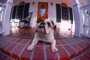 Bulldog Guarding Home from Porch by DLILLC