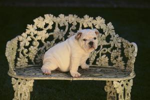Bulldog by DLILLC