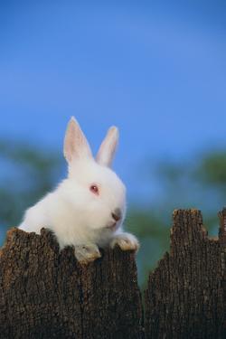 Bunny Peeking over a Fence by DLILLC