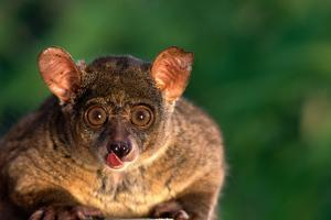 Bush Baby Licking Lips by DLILLC