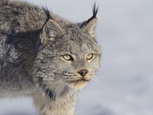 Canada Lynx by DLILLC