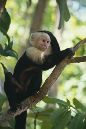 Capuchin Sitting on Tree Limb by DLILLC