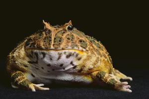 Chacoan Horned Frog by DLILLC