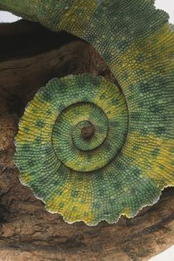 Chameleon Tail by DLILLC