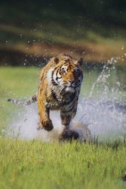 Charging Bengal Tiger by DLILLC