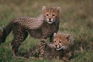 Cheetah Cubs by DLILLC