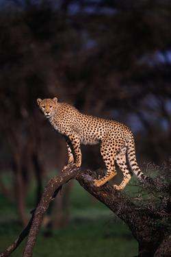 Cheetah Perched on Tree Limb by DLILLC