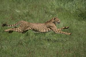 Cheetah Running in Grass by DLILLC